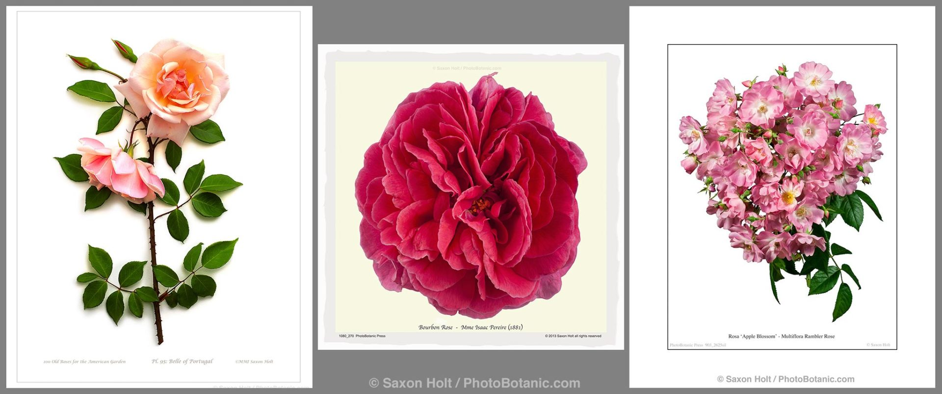 3 Roses as Photobotanic Illustrations - 'Belle of Portugal' 'Mme Isaac Pereire'; 'Apple Blossom'