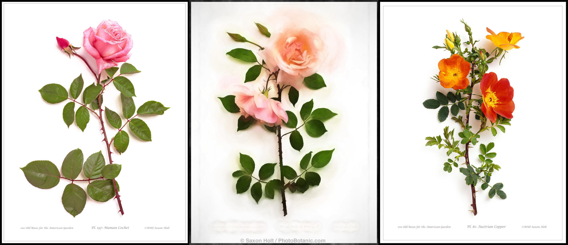 3 Roses for Smith & Hawken rose books - photographic illustrations bty Saxon Holt