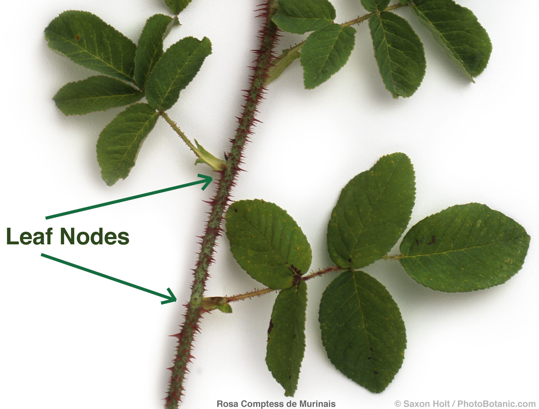 Smith & Hawken botanic illustration of leaf nodes - rose Comptess de Murinais