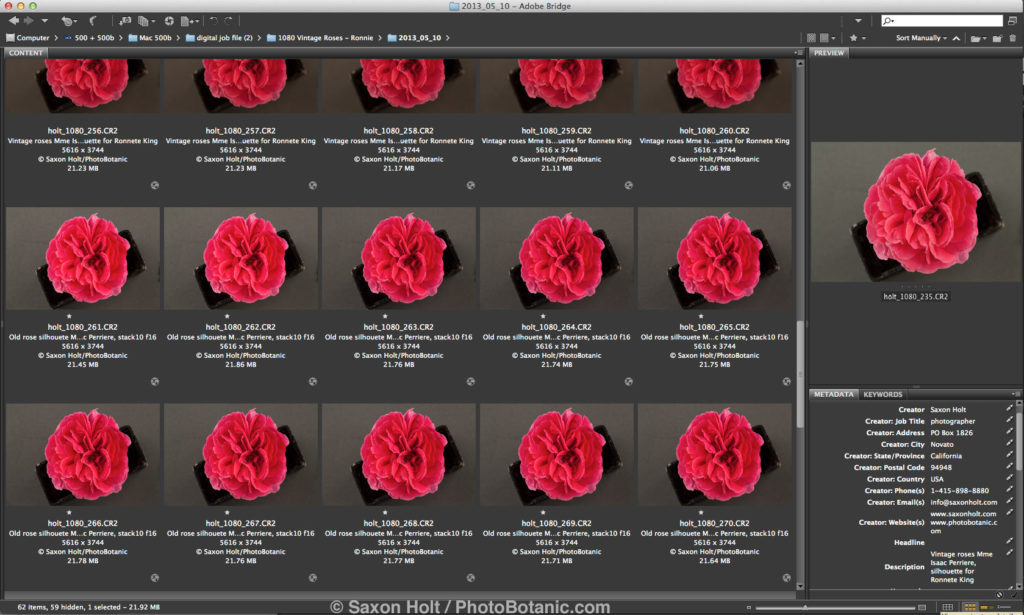 screen capture from Bridge rose focus stack Mme Isaac Pereire file 1080
