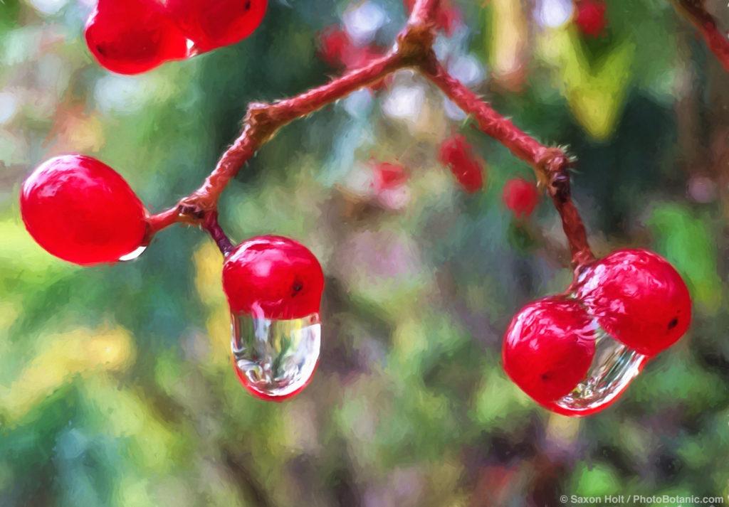 Rainrops on Viburnum foetidum v. ceanothoides - red winter berries in rain