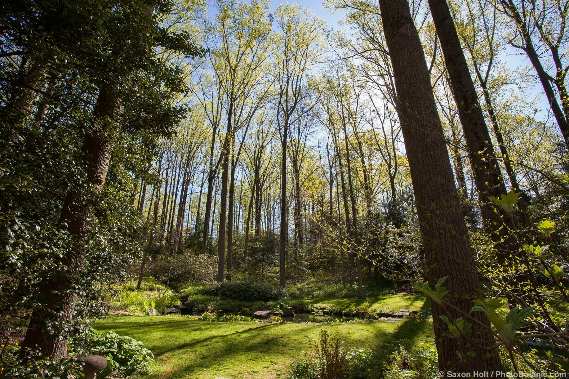 Liriodendron tulipifera -, Tulip poplar tree, in grove with spring leaves emerging in woodland garden at Mount Cuba Center