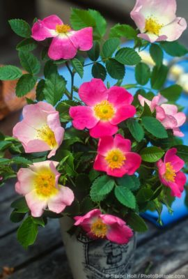 Single petal species roses in simple bouquet on picnic table; pale Rosa canina with Eglantine or Sweet Briar rose (Rosa rubiginosa).