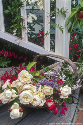 Rose 'Fair Bianca' (English or Austen Rose) cut flower for bouquet in garden trug with red penstemon at Garden Valley Ranch.