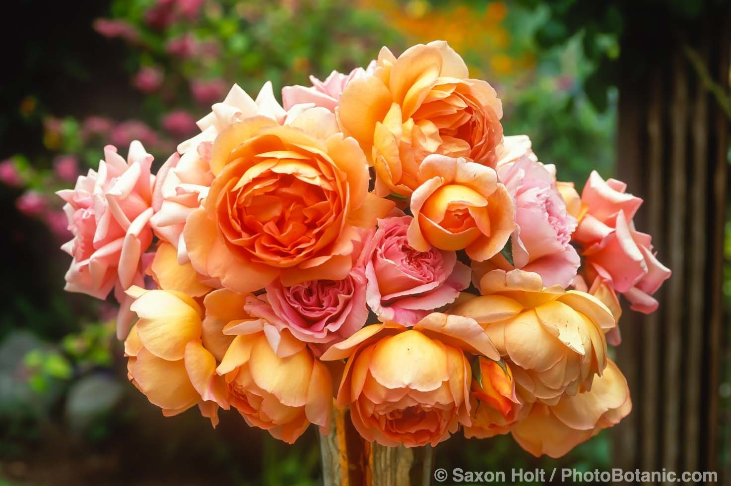 Rose bouquet, floral arrangement outdoors in Sally Roberston garden with yellow 'Pat Austin' and 'Distant Drums'