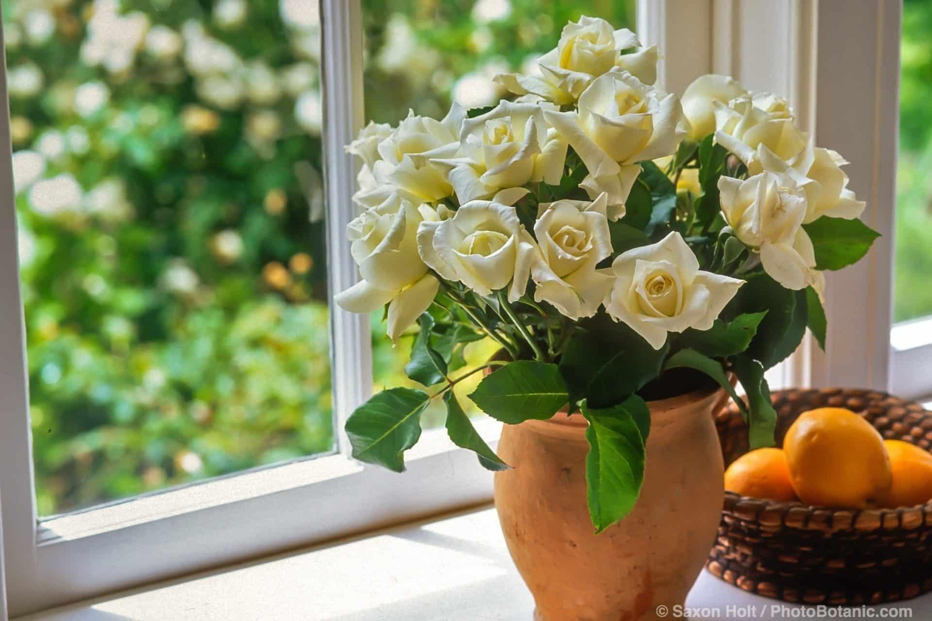 Bouquet of white rose 'Pascali' on windowsill