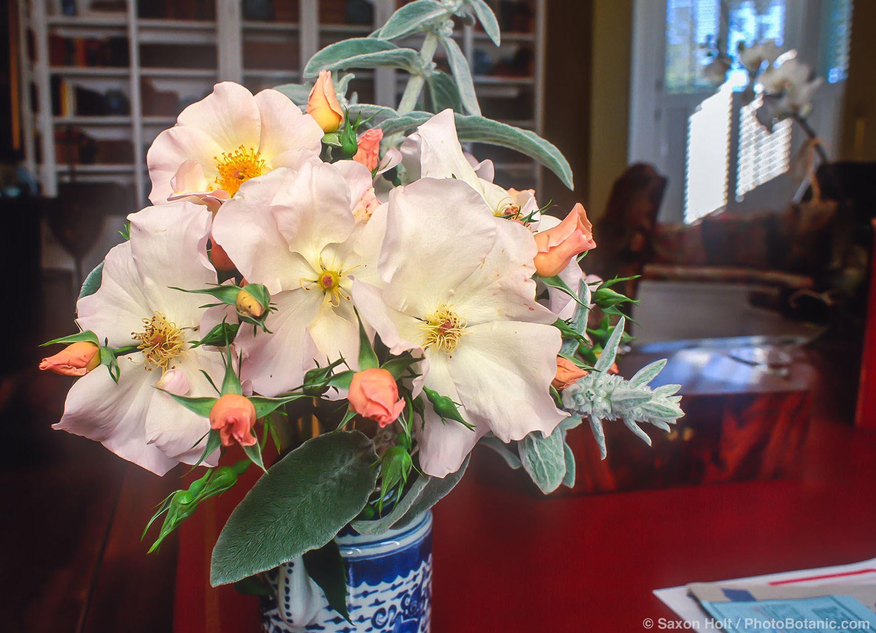 'Sally Holmes' rose in simple bouquet with lambs ear foliage in living room