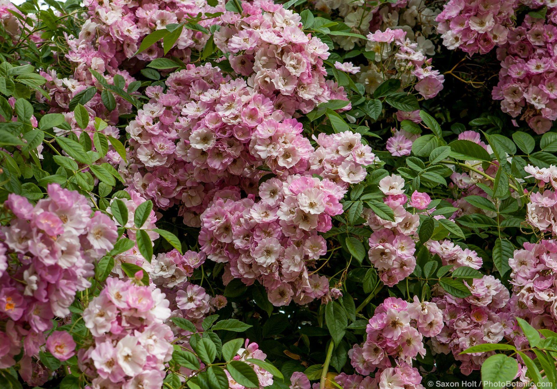 Rambler rose 'Apple Blossom'