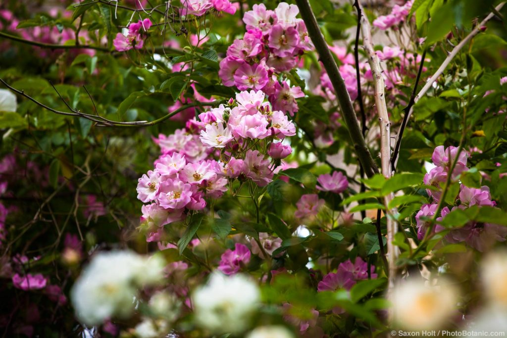 Rosa 'Apple Blossom' , Rambler multiflora rose flowering in trees