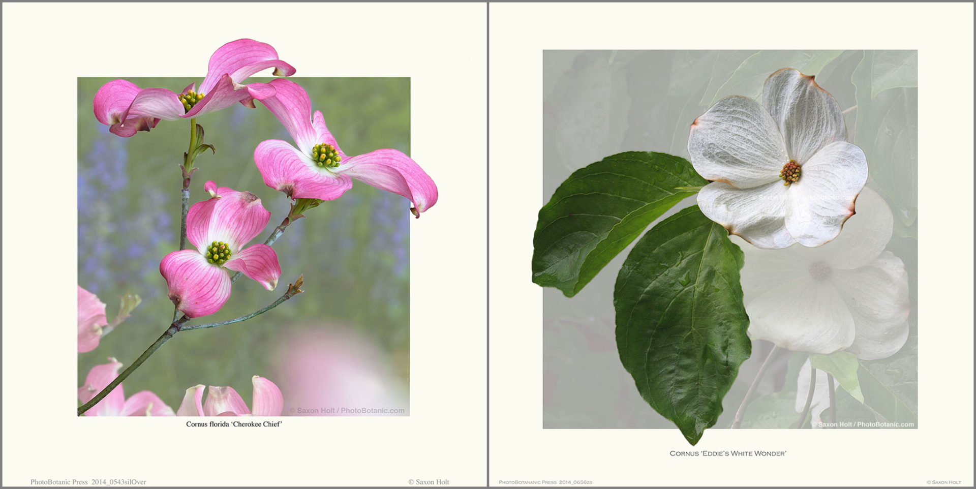 Cornus florida 'Cherokee Chief'; pink flowering dogwood tree branch in California garden