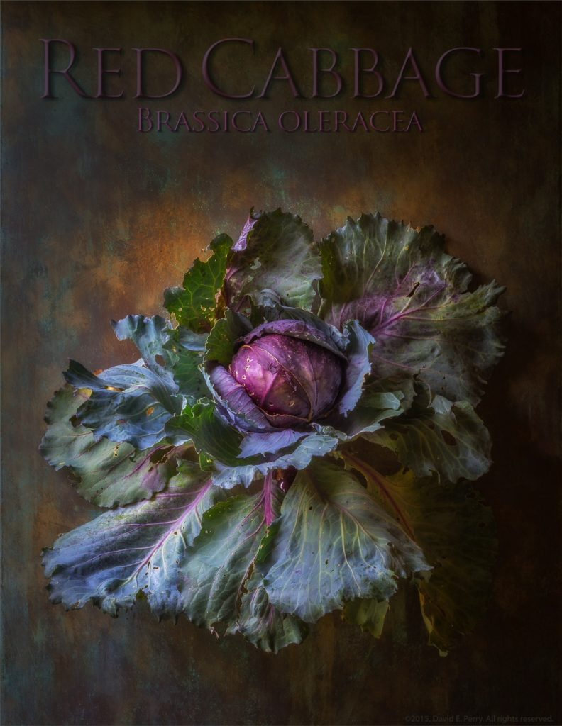 Red Cabbage - Brassica oleracea plant portrait by David Perry