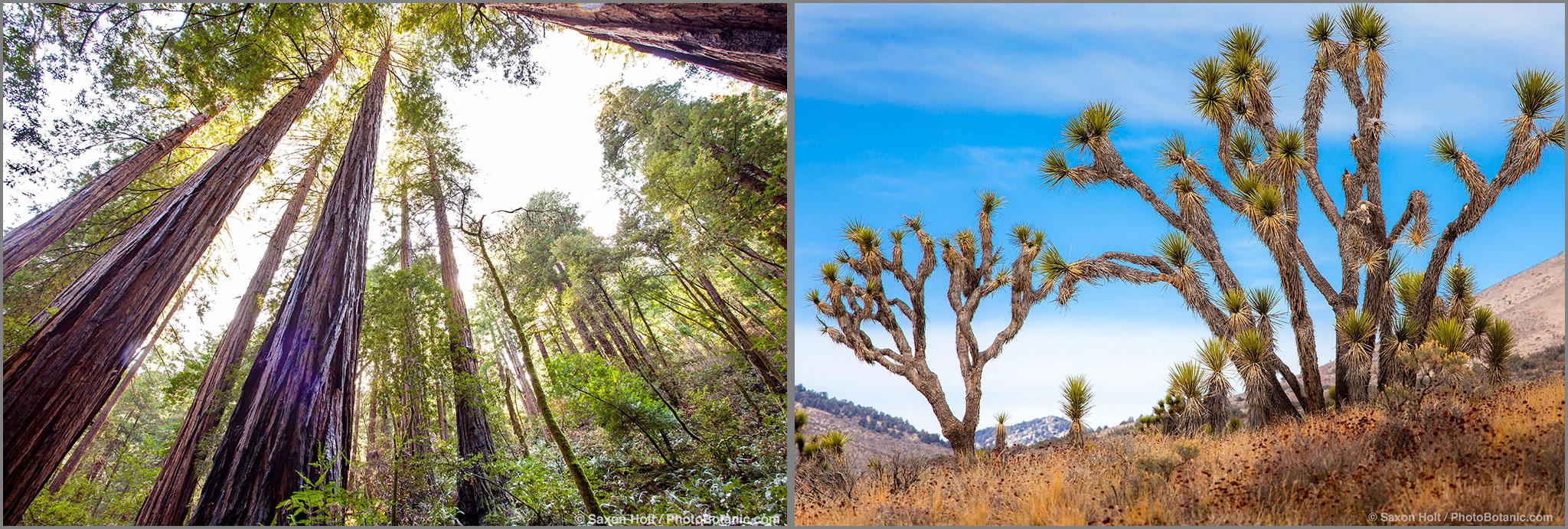 Redwood Trees, Sequoia sempervirens, in Muir Woods