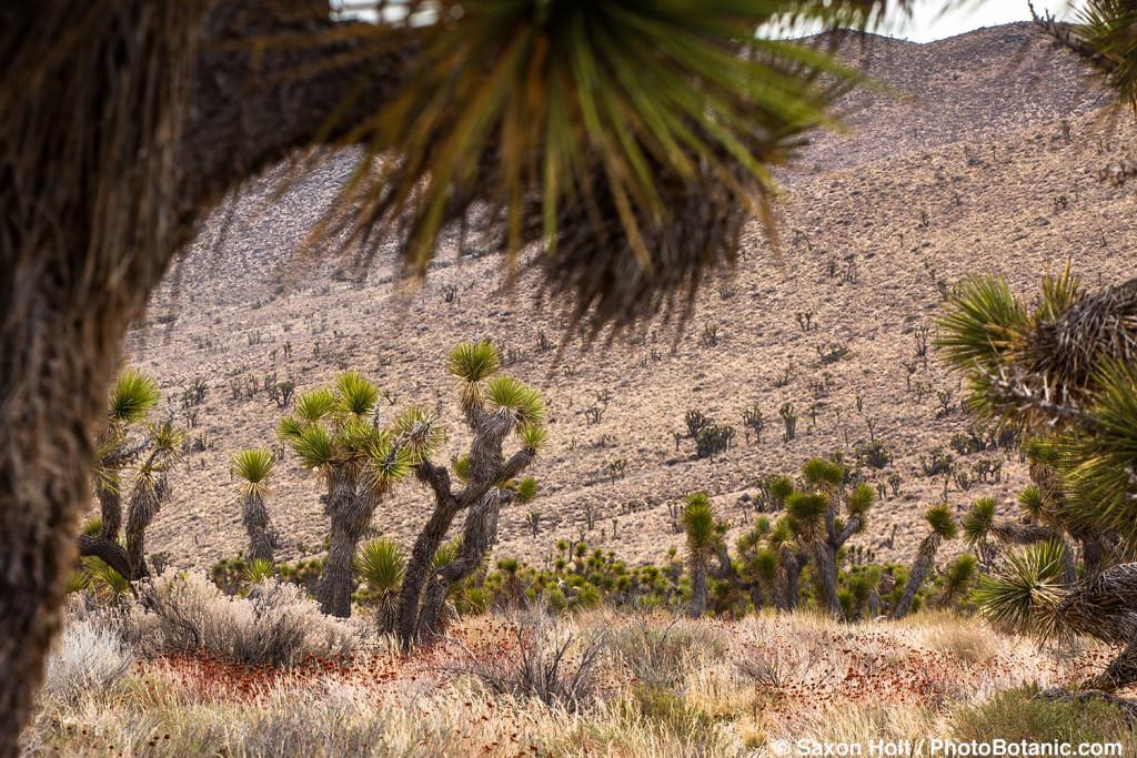 Joshua trees in California Mohave Desert at Walker Pass Road