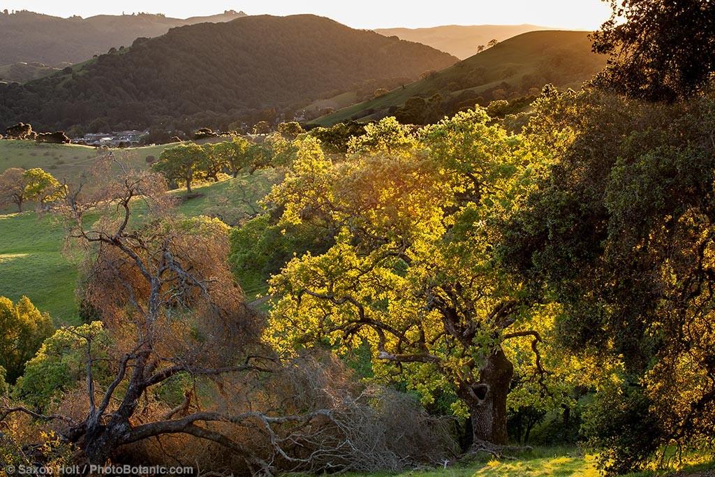 Oak trees (Quercus lobata) on Mt. Burdell State Park, Novato, California