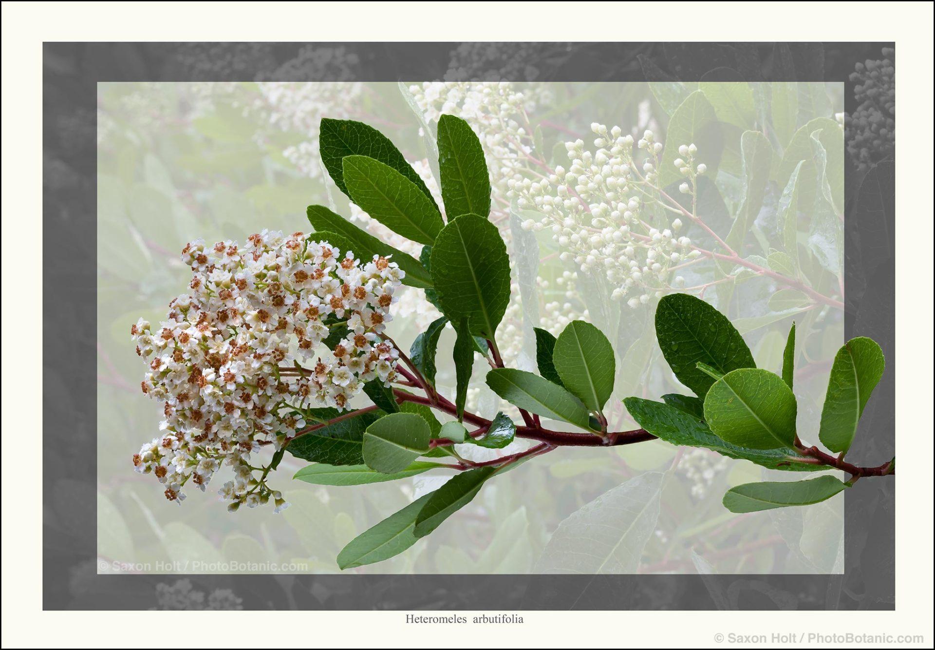 Flowering branch of California native shrub, Arctostaphylos manzanita 'Monica', photobotanic illustration