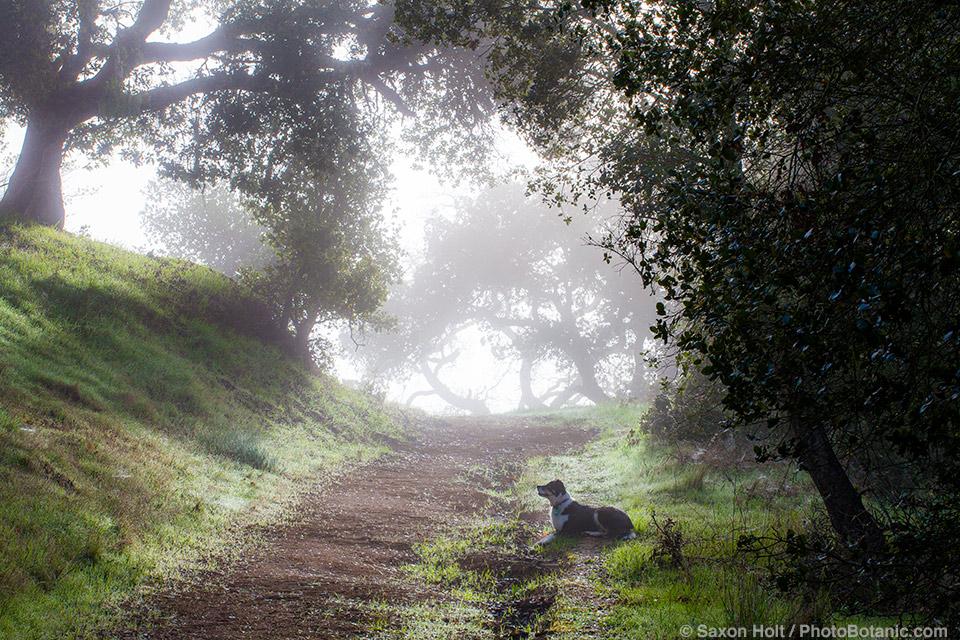 Misty morning path under oaks on Cherry Hill, Novato