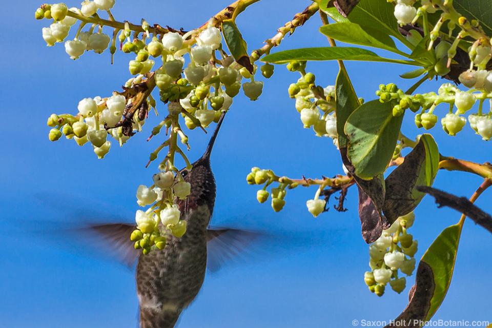 Hummingbird visiting Arbutus menziesii - Pacific madrona, madrone or Arbutus tree flowering
