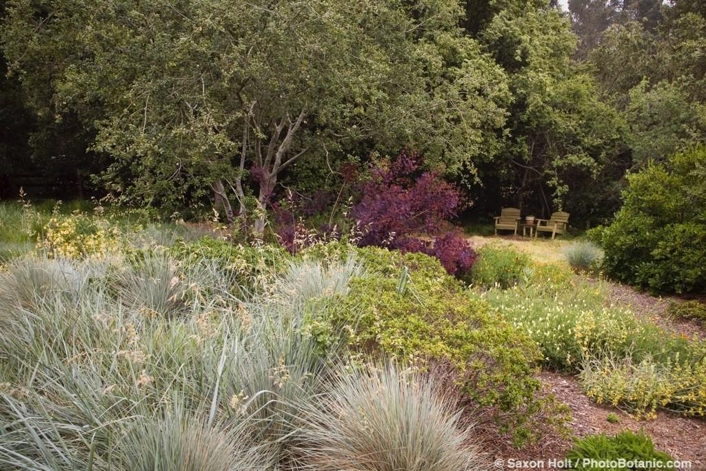 Live Oak tree (Quercus californica) in California meadow garden with wild rye (Helictotrichon sempervirens), rye (Leymus condensatus) David Fross