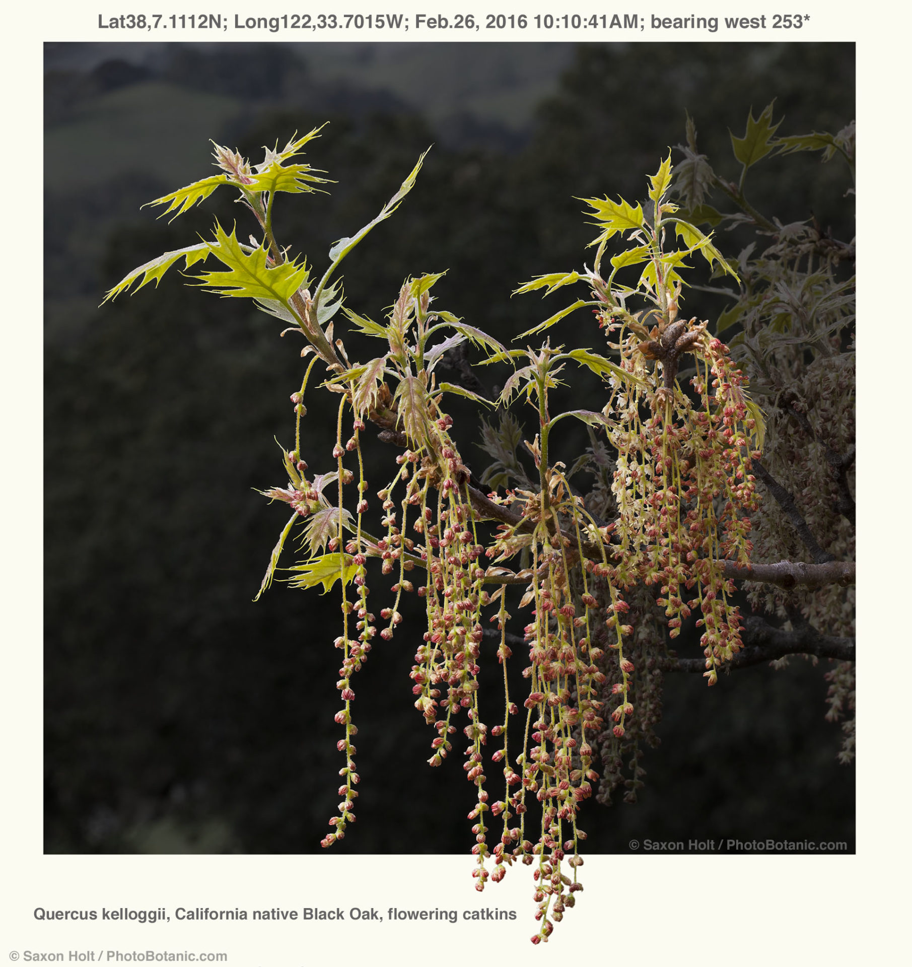 Quercus kelloggii, California native Black Oak, flowering catkins, Rush Creek Open Space; Lat38,7.1112N; Long122,33.7015W; Feb.26, 2016 10:10:41AM; bearing west 253*