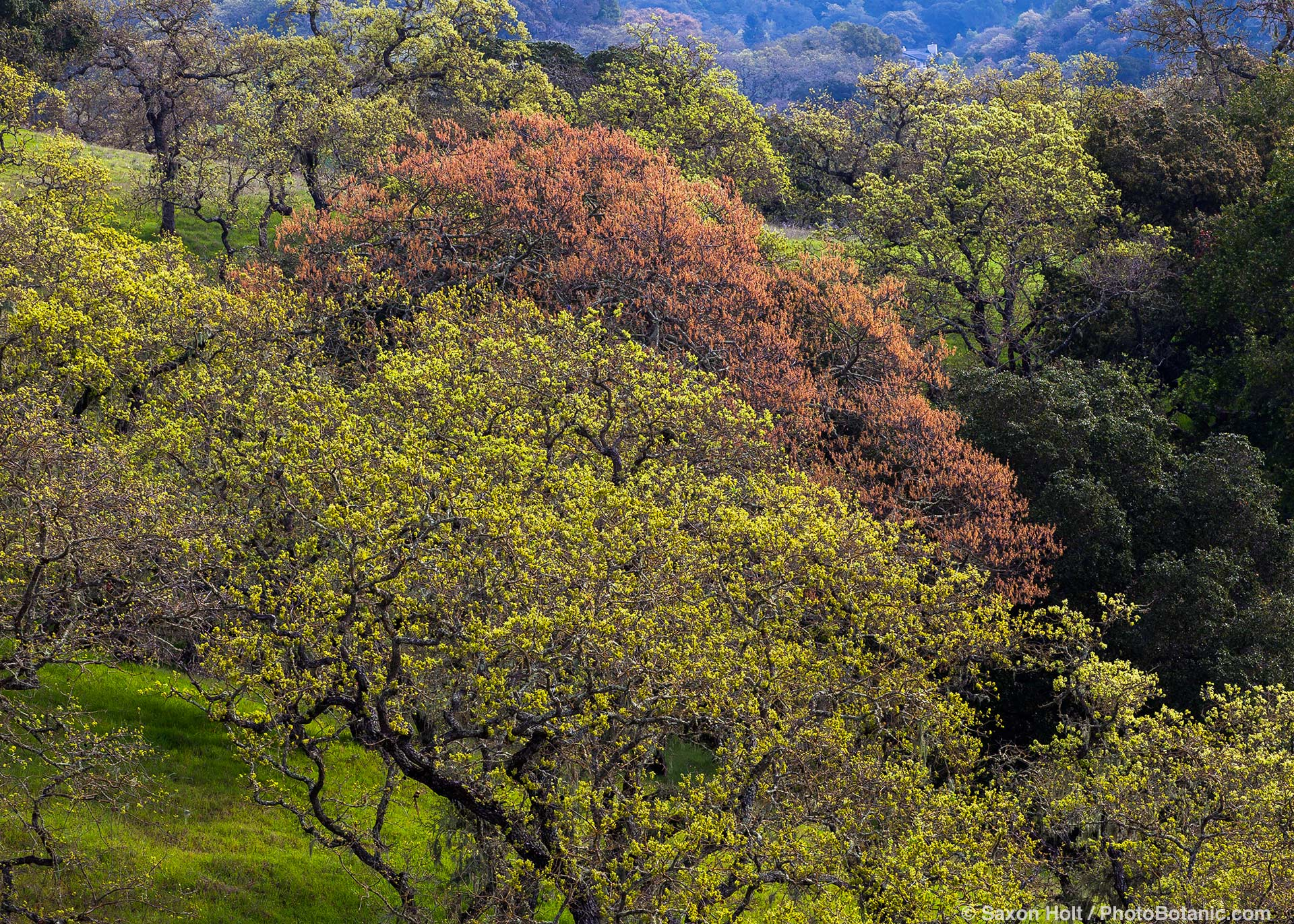 California native Oak, flowering catkins, Rush Creek Open Space