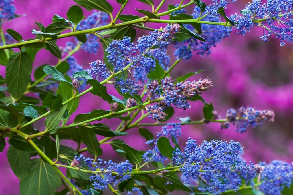Ceanothus 'Ray Hartman' - California Wild Lilac, blue flowering native shrub