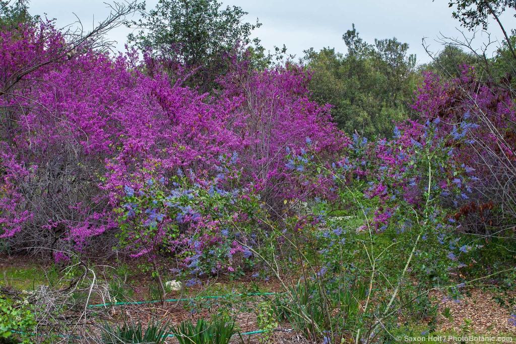 Ceanothus flowering in front of Redbud Tree
