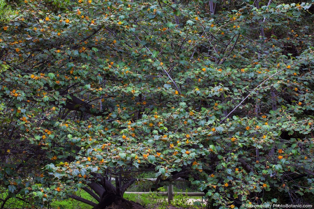 x Chiranthomontodendron lenzii (aka Chiranthofremontia); inter- generic hybrid between Chiranthodendron and Fremontodendron 'Pacific Sunset'; yellow flowering shrub at Rancho Santa Ana Botanic Garden
