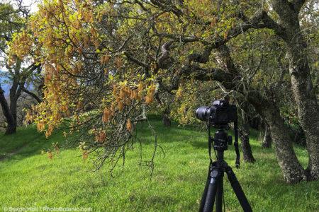 Camera photographing Oak - Lat38,7.1112N; Long122,33.7015W; Feb.26, 2016 10:10:41AM; bearing west 253*