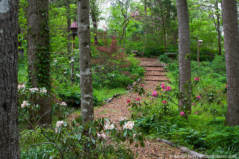 Woodland mulched path through naturalistic Virginia garden with spring Rhododendrons; Boninti