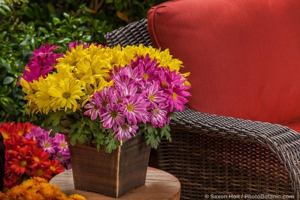 Pot Mum Combo - Spring Milton™, Milton™Pink. Milton™Dark Pink, Milton™ Pink Bicolor, potted flowers on patio table - Licensed Photograph © Syngenta
