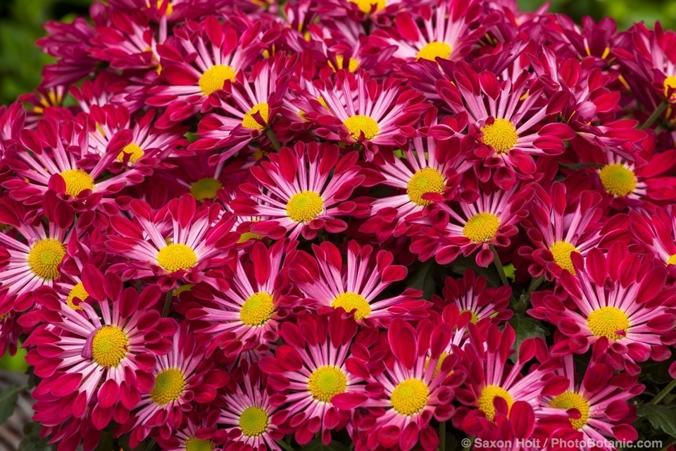 Fairbanks™ Purple Spoon, Chrysanthemum indicum potted flowers; Licensed Photograph © Syngenta