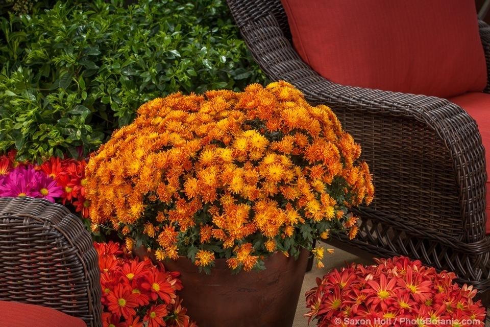 'Stephany Bronze', Chrysanthemum morifolium potted flowers on patio; Licensed Photograph © Syngenta
