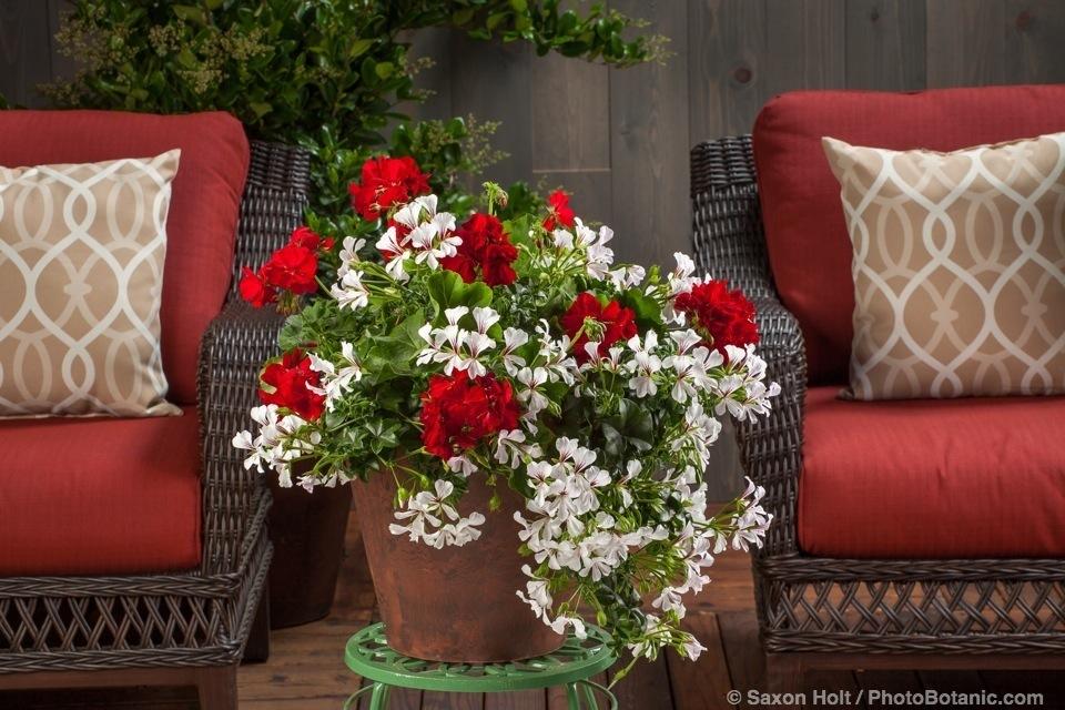 Cascade White - Pelargonium peltatum potted flowers on deck plant stand; Licensed Photograph © Syngenta