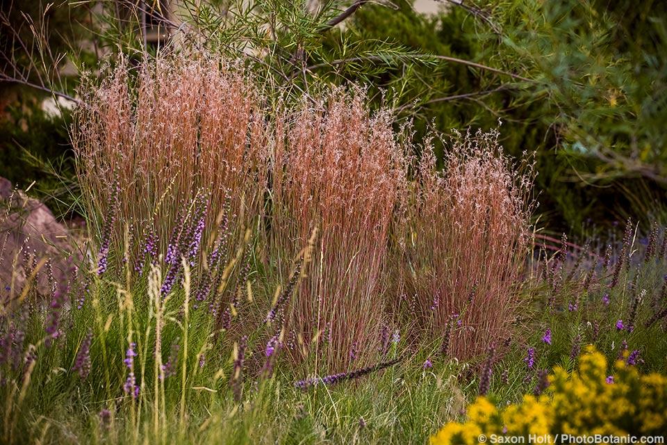 Little blue stem (Schizachyrium scoparium) flowering grass and wildflower Liatris punctata in front yard meadow garden with natural lawn of Buffalo Grass (Buchloe dactyloides).