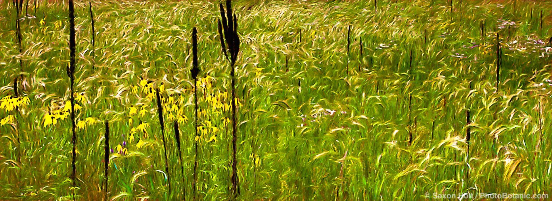 Dried flower stalks of Common Mullein (Verbascum thapsus ) framing Canada Rye grass (Elymus canadensis) and yellow flower Gray Coneflower (Ratibida pinnata) in Crow-Hassan Park, prairie reserve