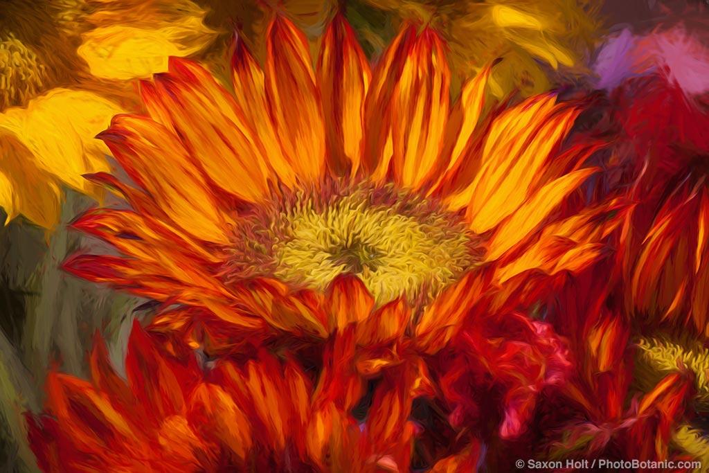 Sunflower, California Spring Trials 2015, flower display at American Takii Seed, Salinas California
