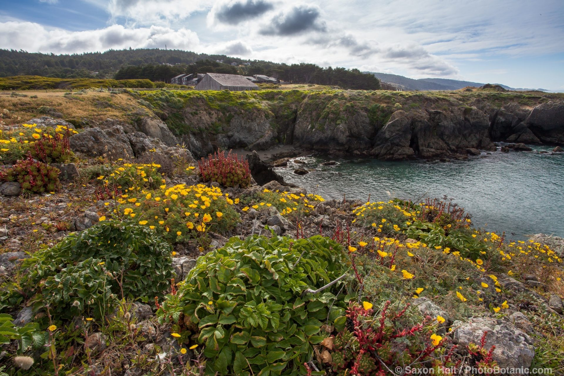 California native wildflowers on coastal bluff at Black Point - across from Sea Ranch Lodge and Bihler Point, The Sea Ranch