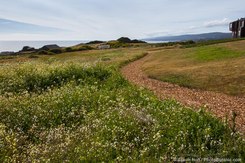 Non native mustard dominating meadow in front of The Sea Ranch Lodge