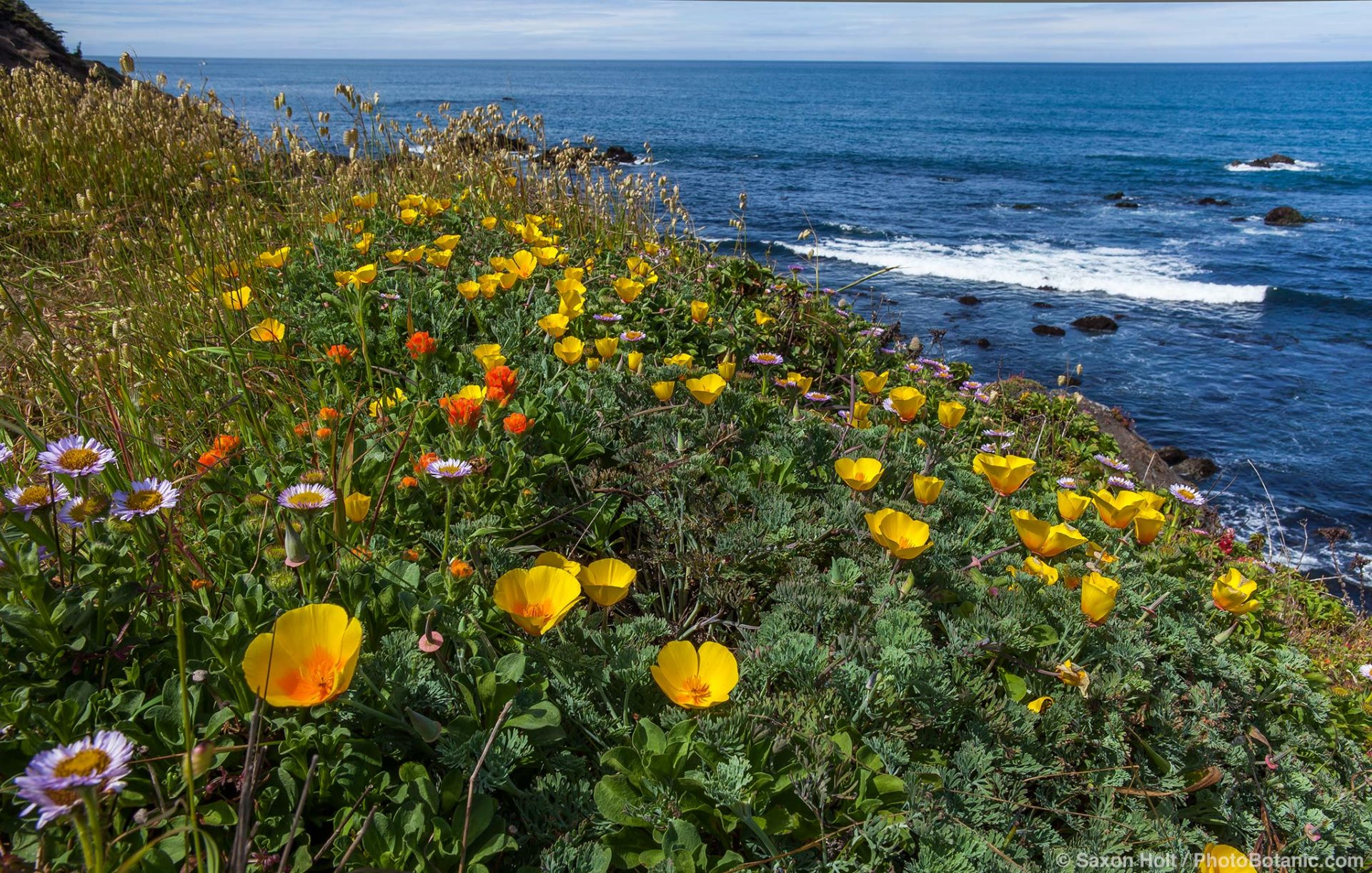 California native wildflowers on coastal bluff overlooking Pacific Ocean at The Sea Ranch