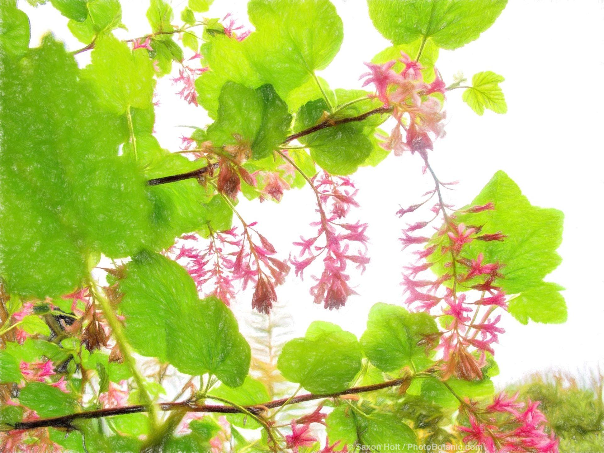 Ribes sanguineum, California curant flowering in California spring garden
