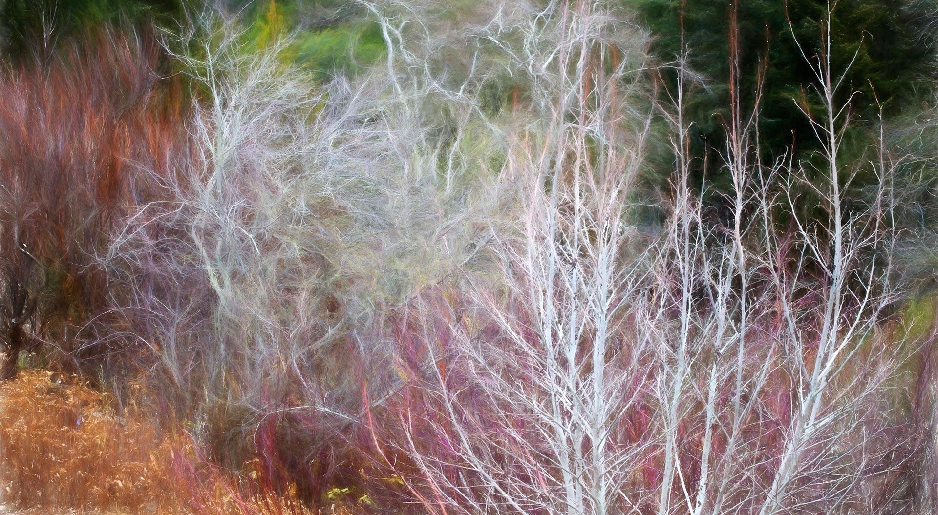 Alnus tenuifolia - Mountain Alder; California native deciduous small tree, bare branches in winter in shrub border with Cornus