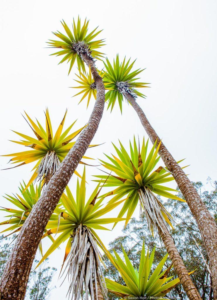 Aloe aloifolia Spanish Bayonet, Aloe Yucca, Spanish Dagger; succulent in San Francisco Botanical Garden