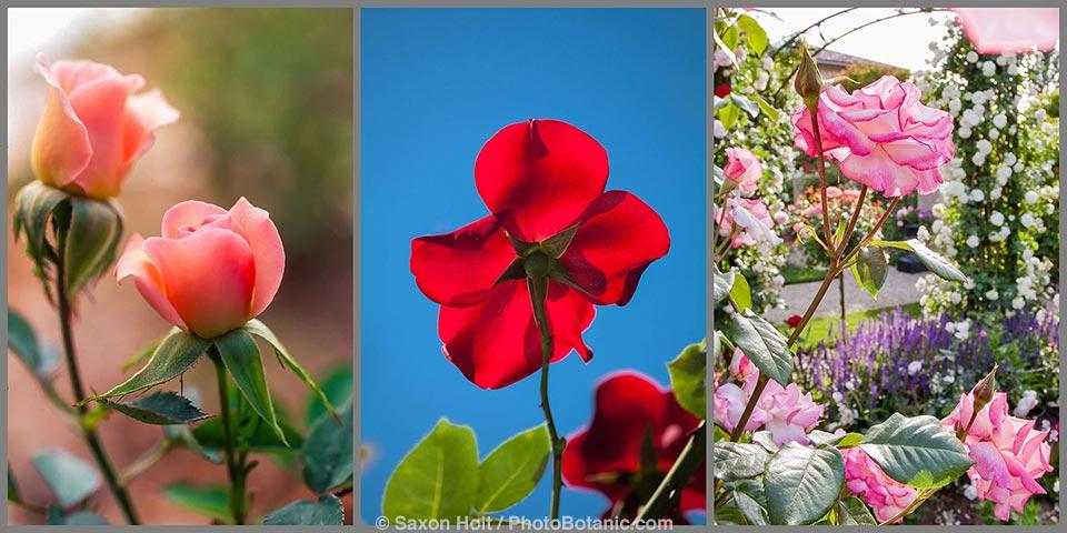 Red Large Flowered Climbing Rose (Rosa ) 'Altissimo' flower backlit against blue sky