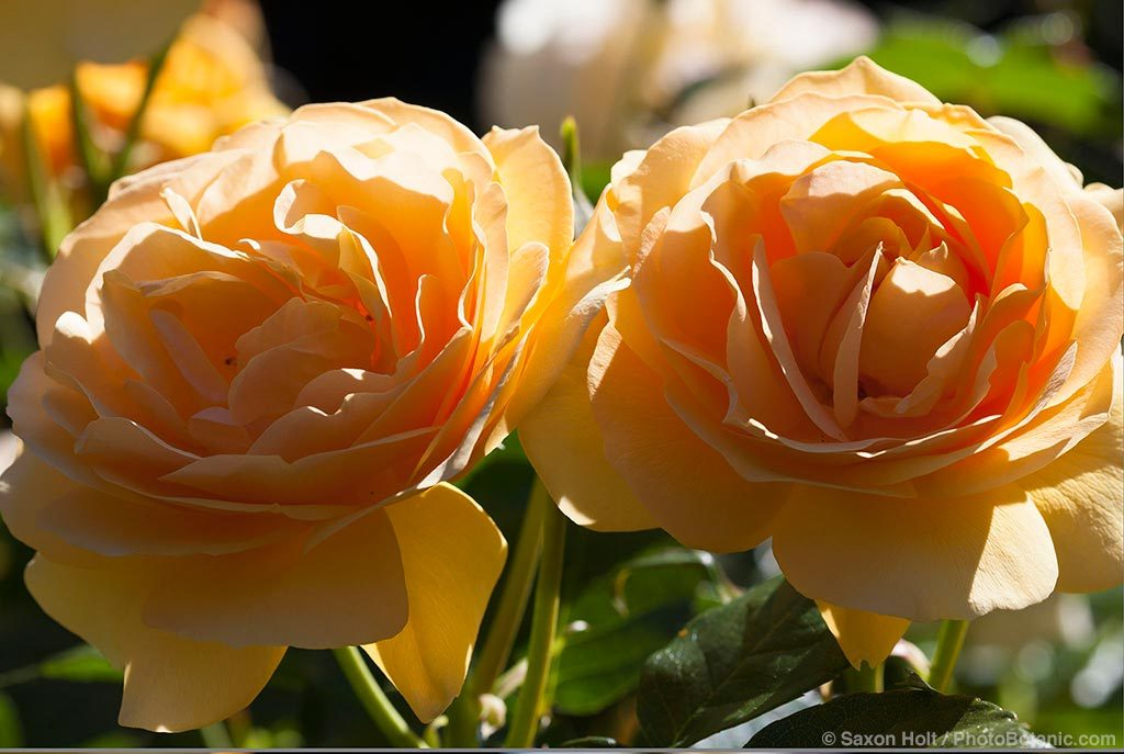 Twin yellow roses, hot light and diffused light, before and after