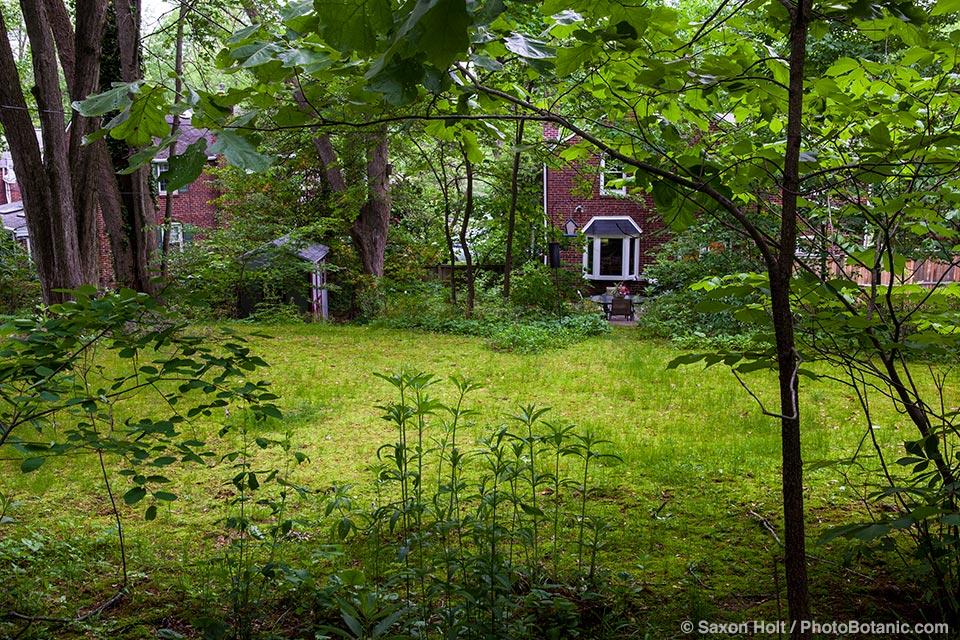 Backyard native plant moss lawn substitute in shady garden under trees, Larry Weaner Garden, Pennsylvania