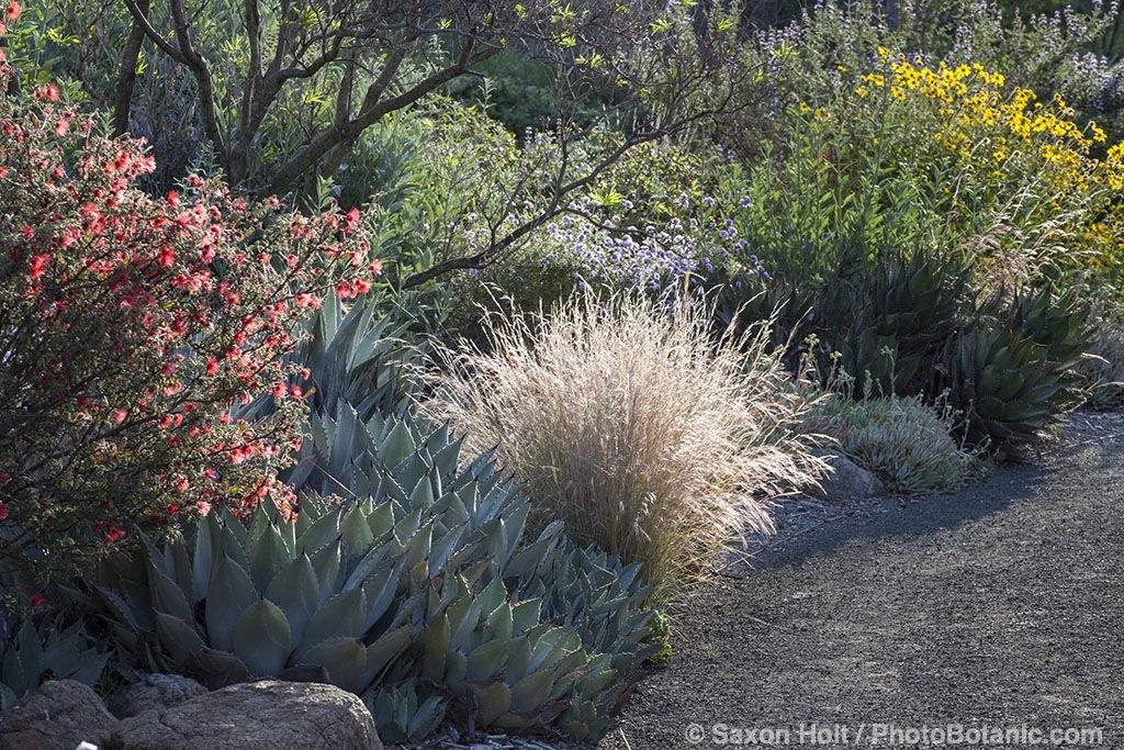 Purple Three-Awn grass in California native plant garden