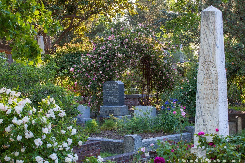'Souv de Mme Leonie Viennot', old rose on trellis in Sacramento Old City Cemetery; 'Marie' Pavie' white rose