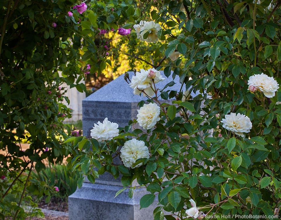 'Phil Edinger Noisette' - white flowering old antique heirloom rose in Sacramento Old City Cemetery