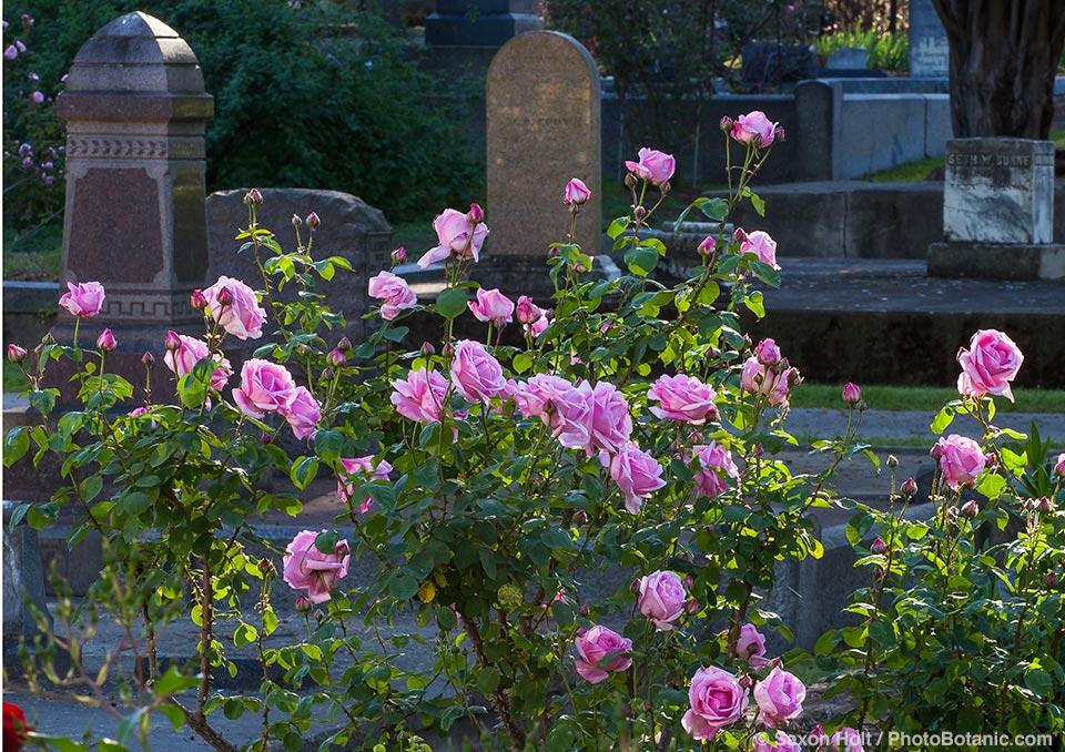 Mme Caroline Testout - Old Hybrid Tea (1890) pink flowering rose shrub in Sacramento Old City Cemetery