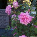Sacramento Cemetery Roses